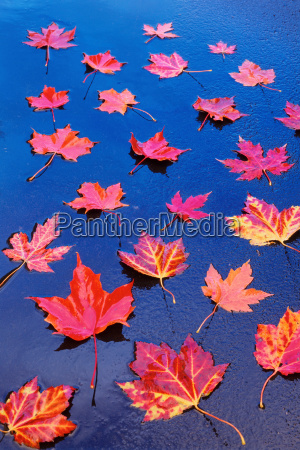 red and yellow maple leaves floating