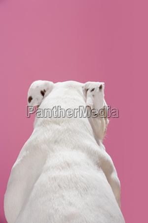 rear view of a bulldog