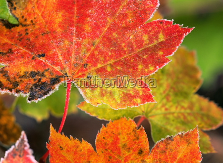 frost on vine maple leaves