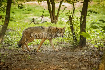 animale mammifero selvaggio caucasico europeo lupo