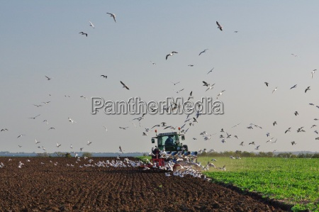 ploughing farmer surrounded by food seeking