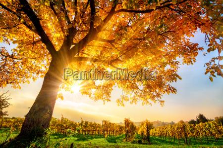 bellissimo albero in vigneti in autunno