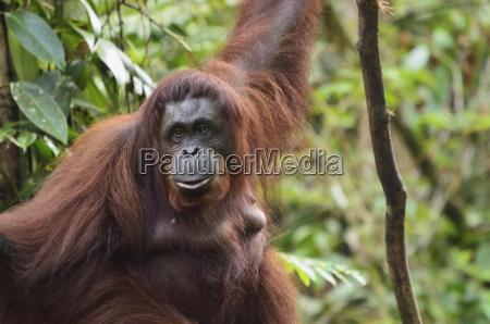 animale asia selvaggio ritratto scimmia malaysia