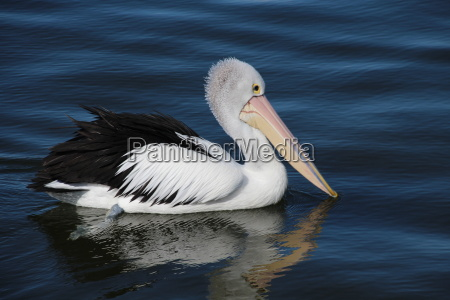 pelican in victoria australia
