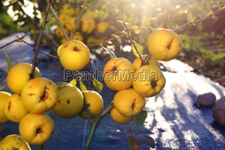 giardino pianta commestibile frutta arbusto coltivazione