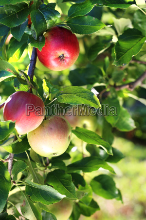 frutta melo mele mela alberi da