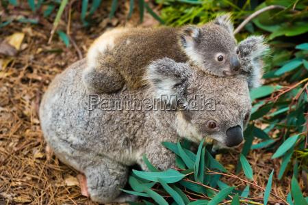 animale nativo dellorso australiano del koala