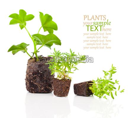 fiore pianta radice crescere piante