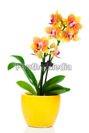 fiore pianta fioritura fiorire flora orchidea