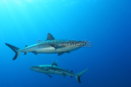 animali sottacqua video nuoto squalo galleggiante