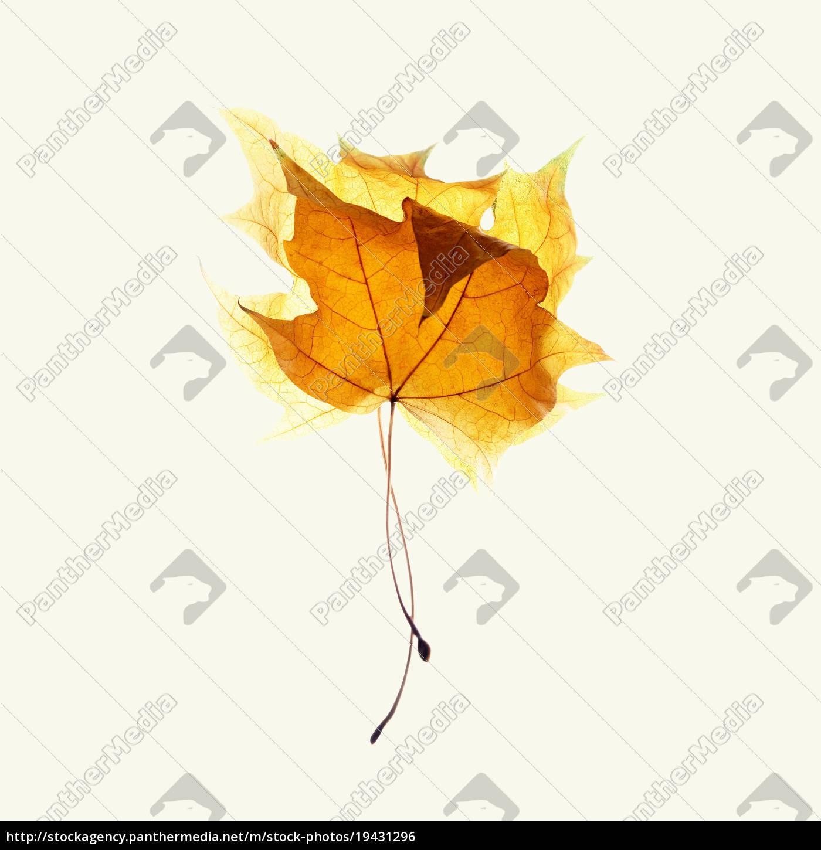 due, foglie, d'acero, su, sfondo, bianco - 19431296