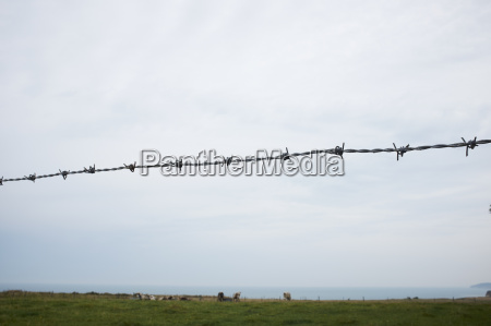 barbed wire fence with cows grazing