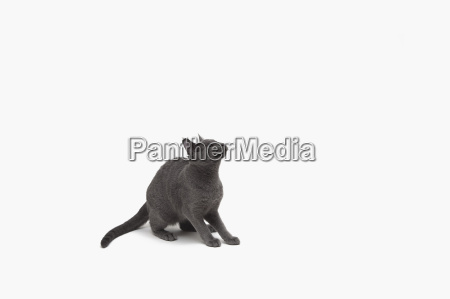 russian blue cat crouching ready to