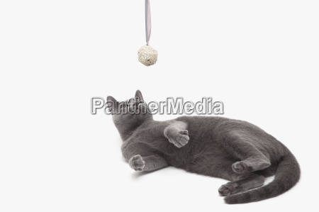 russian blue cat on its back