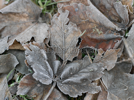 close up of leaves frozen in