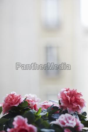close up azalea plant blossoms on