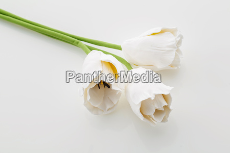 bellissimi fiori bianchi di tulipani
