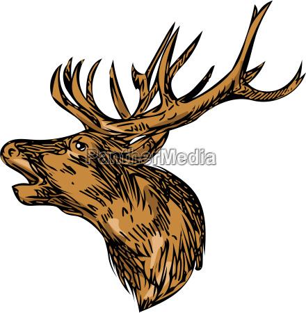 red deer stag head roaring drawing
