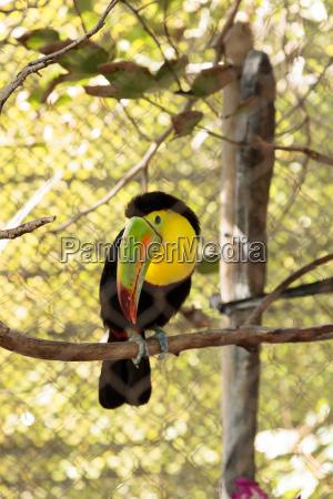 blu uccello verde becco belize arancione