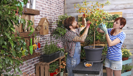 coppia raccogliendo kumquat nel loro giardino