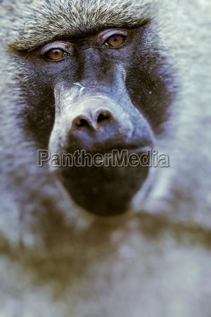 babbuino parco nazionale del tarangire