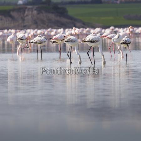 fenicotteri africani nel lago piu bel