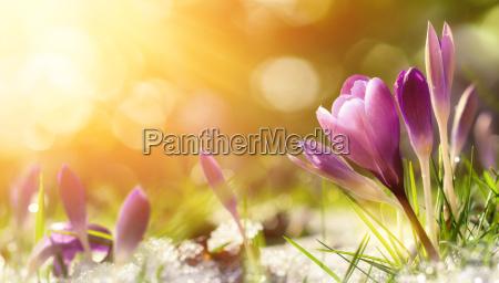 i fiori di croco nella neve