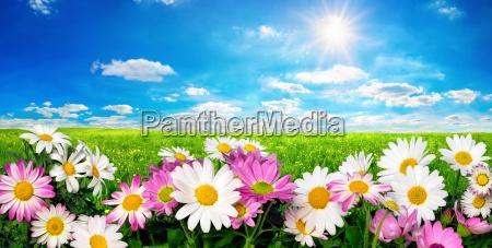 fiori prato verde e cielo azzurro