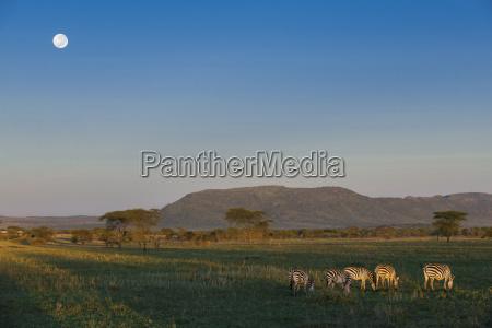 albero animale africa luna orizzontale allaperto