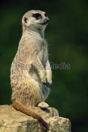 meerkat alla ricerca marwell zoo hampshire