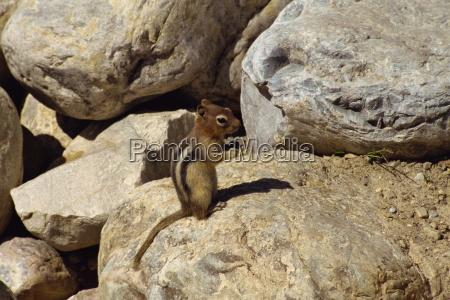 piccolo mammifero a lake louise in