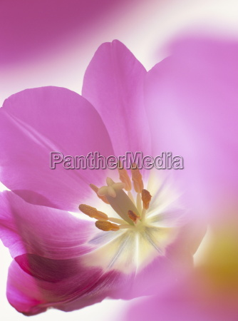 dettaglio interno colore fiore pianta fioritura