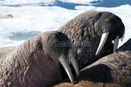 due tricheco rosmarinus odobenus close up