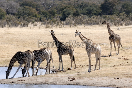 giraffe a pozza dacqua hwange national
