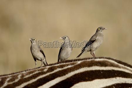 tur rejse pattedyr afrika kenya fugle