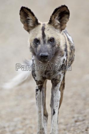 colore selvaggio ritratto cane allaperto fuori