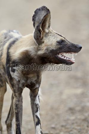 profilo colore selvaggio cane allaperto fuori