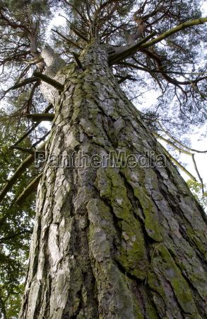 alto pino visto dal basso nei