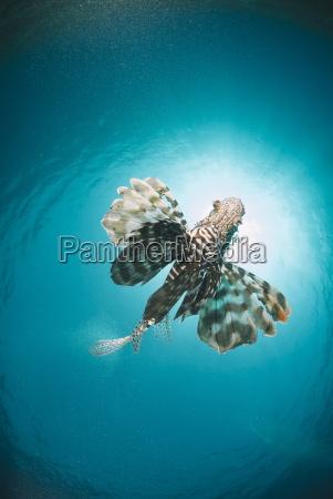 lionfish comune miglia del pterois dal
