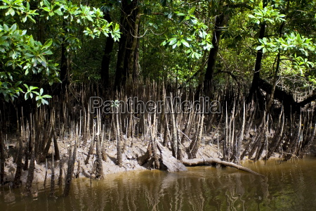 mangrove germogli crescono nelle secche del