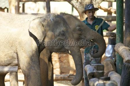 asia elefante animali orizzontale allaperto mammiferi