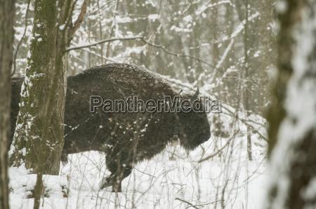 europeo bisonte bison bonaus passeggiata in