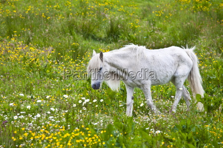 pony malconciato sottile e beffardo connemara