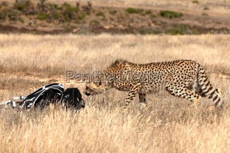 ghepardo curioso annusando zaino di amanti