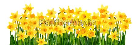 narcisi gialli su sfondo bianco simbolo