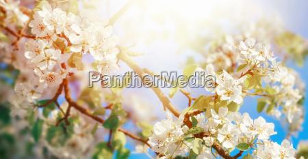 fiore di mela bianca in sole