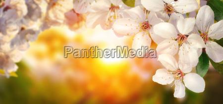 fioritura fiorire fiore fiori primavera ciliegia