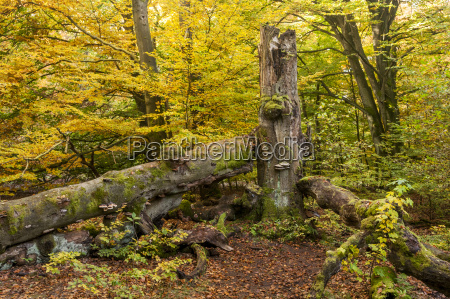 germany hesse beech tree in autumn