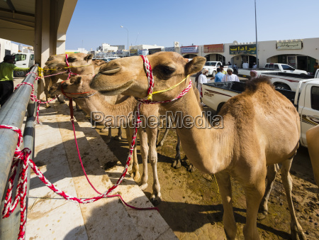 oman sinaw mercato dei cammelli