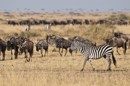 africa kenya riserva nazionale masai mara